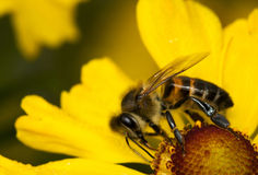 Bee on the flower. Summertime Royalty Free Stock Photography