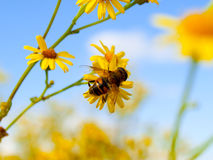 Bee on flower. Busy bee on flower on a sunny day Royalty Free Stock Photography