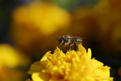 Bee & flower Royalty Free Stock Image