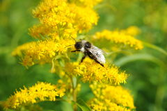 Bee on a flower. Beautiful bee on a summer flower Stock Photos
