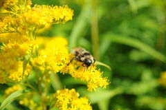 Bee on a flower. Beautiful bee on a summer flower Royalty Free Stock Photo