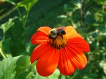 Bee on flower. Bumble bee on Mexican sunflower royalty free stock image