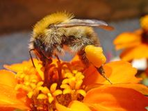 Bee on a flower. Macro a bee on a orange flower Royalty Free Stock Photos
