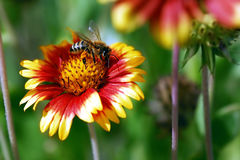 Bee on flower. Aclose shot of a bee on flower Stock Photo