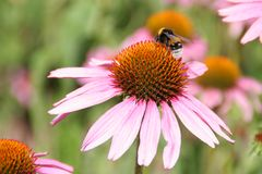Bee on the flower. Bee working on the flower royalty free stock images