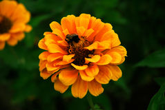 Bee on flower. A been gathering pollen on a yello-orange flower Royalty Free Stock Image
