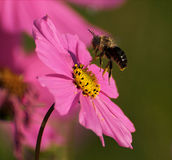 Bee by flower Royalty Free Stock Images