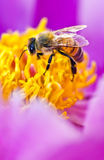Bee in flower Stock Images