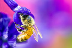 Bee in flower Stock Photos