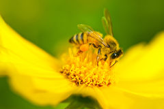 Bee in flower Stock Photography