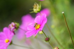 Bee in flower royalty free stock photo