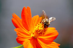 Bee on flower. One wild bee on flower Royalty Free Stock Images