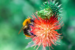 Bee on flower Stock Images