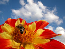 Bee on flower. Bee on dahlia flower in red-yellow colors with bright summer sky in background. Strong colors, optimistic feeling, the concept can be used in Royalty Free Stock Image