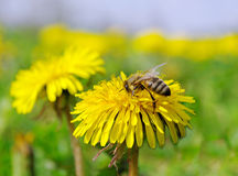 Bee on a flower. Royalty Free Stock Photo
