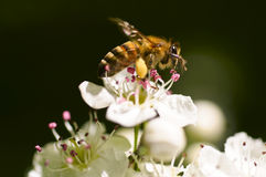 The bee on a flower Stock Image