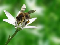 Bee on flower. Bee collecting pollen on flower Stock Photography