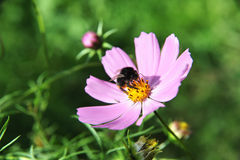 Bee on a flower 2. Beautiful bee on a summer flower Royalty Free Stock Images