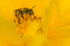 Bee in flower. Bee pollinating a yellow flower Stock Image