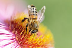 Bee on flower. Stock Images