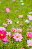 A bee on the flower. A bee on a cosmos flower Stock Photo