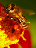Bee on a flower. Honey bee collects pollen on a flower stock photo