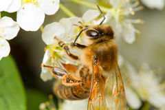A bee on a flower Stock Photography