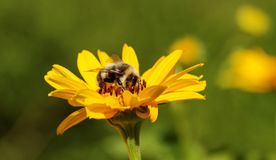 Bee on the flower. Royalty Free Stock Photo