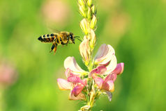 Bee and flower. The bee pollinates a flower Royalty Free Stock Photography