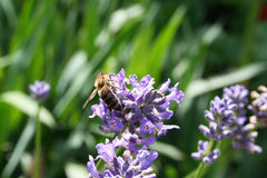 Bee on a flower. A bee is collecting pollen in a violet flower royalty free stock photos