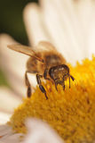 Bee in a flower Stock Image