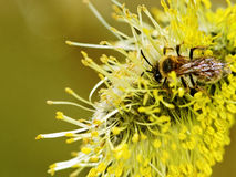 Bee on the flower. Royalty Free Stock Image
