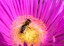 Bee on flower Royalty Free Stock Images