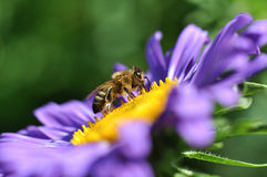 Bee on a flower. Honey bee on a flower collecting pollen stock photography
