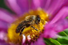 Bee on a flower. Honey bee on a flower collecting pollen Stock Image
