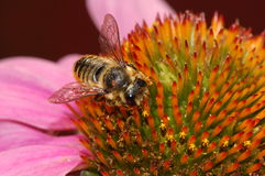 Bee and Flower Royalty Free Stock Photos