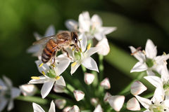 Bee on flower. Honey bee collecting pollen for nectar from a garlic flower stock photo