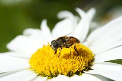 Bee on flower Stock Photos