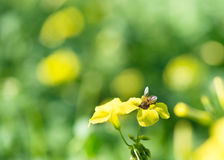 Bee on  flower Stock Image