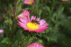 Bee on a flower Stock Photos