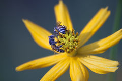 Bee and flower. Bee fly to eat flower pollen Stock Image
