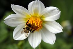 Bee on Flower. Bee gathering pollen on flower Royalty Free Stock Photo