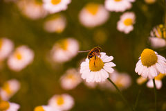 The Bee. The flower with the bee on it Royalty Free Stock Images