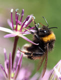Bee on a flower. A black and yellow bumble bee on a purple flower Royalty Free Stock Image