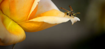 Bee on Flower. A single Bee Resting on a Flower Petal royalty free stock photo
