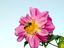 Bee on Flower. Bee on a flower for honey making Stock Photos