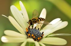 Bee on flower. Bee sitting on the white flower stock image