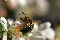 Bee on flower. Bee pollinting royalty free stock photos