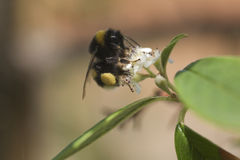Bee on flower. Closeup of a bee pollinating a flower. Shallow depth of field stock photo