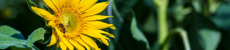 Bee and flower. Bee is absorb nectar of sunflower Royalty Free Stock Photo